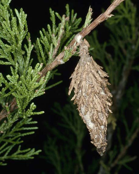 Is That A Bagworm North Carolina Cooperative Extension
