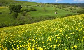 Cover photo for Tired of Seeing Buttercup in Your Pasture?
