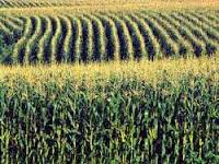 Cover photo for Important Facts to Know About Corn Hybrids Selection