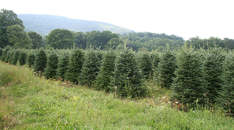 Interesting Facts About the North Carolina Christmas Tree Industry ...