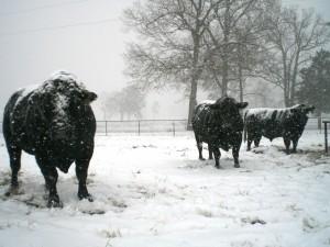 snow and livestock
