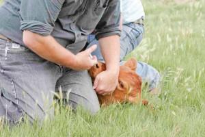 calf vaccination