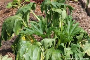 wiltedzucchiniplant