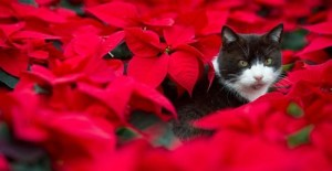 epa02455153 At the greenhouse of a horticulture business, a cat looks out from a field of poinsettias, also called 'christmas stars', in Beeskow, Germany, 18 November 2010.  EPA/PATRICK PLEUL