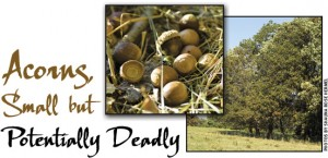 Cover photo for If You Own Cattle, Watch Out for Those Acorns!