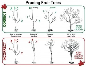 Cover photo for Don't Be Afraid to Heavily Prune Your Fruit Trees