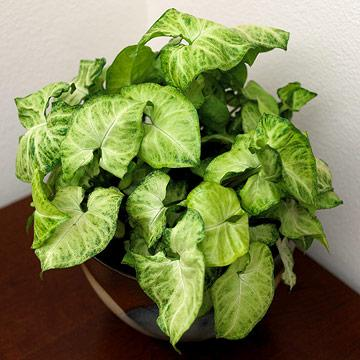 Arrowhead house plant