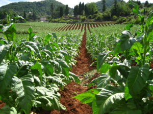 Image of tobacco field