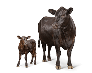 cattle-cow-calf