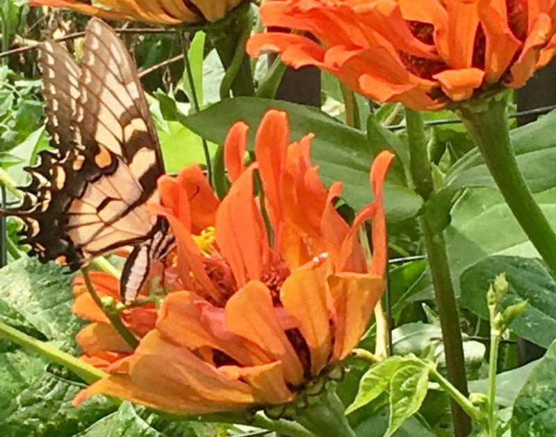 butterfly at cc