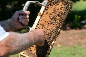 beekeeping, honeybees