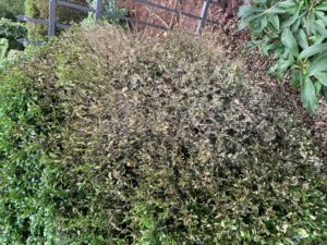 Cover photo for Boxwood Blight Suspected in Wilkes County