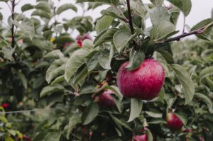 Cover photo for Apples - Local Food Spotlight