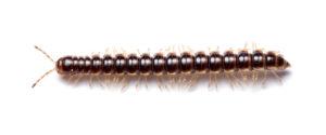 A brown millipede, the greenhouse millipede